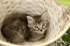 Kitten in basket Royalty Free Stock Image
