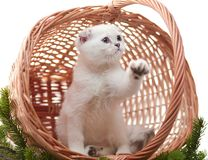 A kitten in a basket. White kitten in a basket. A kitten in a basket decorated with fur-tree branches. A kitten with the lifted paw Royalty Free Stock Photo