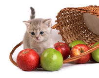 Kitten and a basket with apples. The Kitten and a basket with apples royalty free stock photos