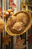 Kitten in basket and autumn pumpkins and other fruits and vegeta. Bles on a wooden thanksgiving table Stock Images