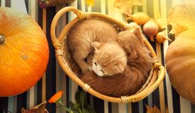 Kitten in basket and autumn pumpkins and other fruits and vegeta. Bles on a wooden thanksgiving table stock photo