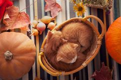 Kitten in basket and autumn pumpkins and other fruits and vegetables on a wooden thanksgiving table stock photo