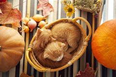 Kitten in basket and autumn pumpkins and other fruits and vegeta. Bles on a wooden thanksgiving table Royalty Free Stock Photography