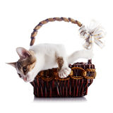 Kitten in a basket with a bow. Stock Photos