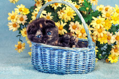 Kitten in a basket. Cute little kitten sitting in a basket near yellow flowers Royalty Free Stock Photography