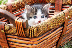 Kitten in Basket. A gray and white kitten in a basket Royalty Free Stock Photo