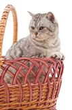 Kitten in a basket. Kitten in a basket on a white background Royalty Free Stock Photography