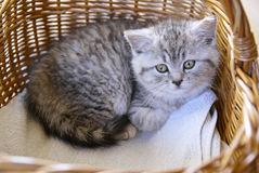 Kitten in a basket Royalty Free Stock Photos