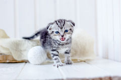 Kitten in basket meow, crying for mother. Royalty Free Stock Images
