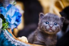 Kitten in basket. A new born kitten in a basket Royalty Free Stock Images