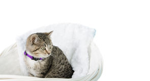 Kitten in basket. A tabby kitten sitting in a basket, isolated against a white background Royalty Free Stock Image