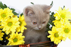 Kitten in basket with yellow flowers Royalty Free Stock Photography