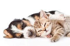 Kitten and basset hound puppy sleeping together. On white royalty free stock photos