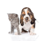 Kitten and basset hound puppy standing together. isolated. On white stock images