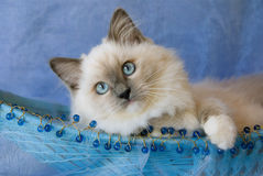 Kitten in beaded blue basket. Blue-eyed blue Ragdoll kitten in blue, beaded basket against blue background Stock Image