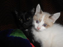 Kitten. 2 beautiful cat, black and white, yin-yang, mother and son one Royalty Free Stock Image
