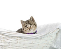 Kitten in bed. A tabby kitten sitting in a basket, isolated against a white background Royalty Free Stock Photography
