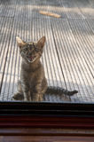 Kitten behind blinds want to go home Royalty Free Stock Photos