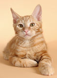 Kitten on a beige background Royalty Free Stock Photo