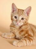 Kitten on a beige background (breed - kurilian bob Royalty Free Stock Image