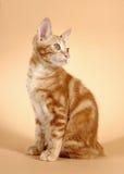 Kitten on a beige background (breed - kurilian bob Royalty Free Stock Photo