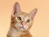 Kitten on a beige background (breed - kurilian bob Stock Photography