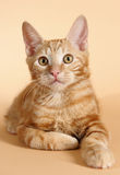 Kitten on a beige background (breed - kurilian bob Royalty Free Stock Photo