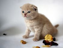 The kitten beige in petals of roses Royalty Free Stock Image