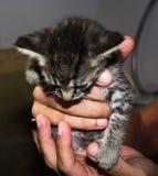 Kitten Being linda se sostuvo del funcionamiento lejos imagen de archivo