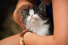 Kitten being stroked in arms. Cat being held in woman's lap and looking upwards Royalty Free Stock Photo