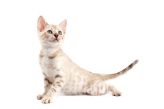 Kitten Bengal breed cat on white background Stock Image