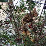 Kitten Bengal breed nicknamed Milano sitting in a cherry tree. Royalty Free Stock Image