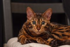Kitten of a Bengal cat royalty free stock photography