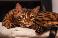 Kitten of a Bengal cat stock image