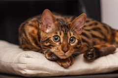 Kitten of a Bengal cat stock photo