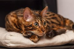 Kitten of a Bengal cat royalty free stock images