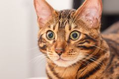 Kitten of a Bengal cat royalty free stock photo