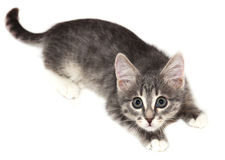 Kitten with big ears Royalty Free Stock Photos