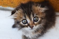 Kitten with big eyes Stock Images