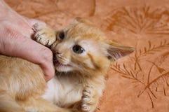 Kitten Bites, malicious and harmful Stock Photo