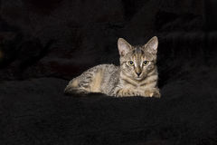 Kitten on black Royalty Free Stock Photography