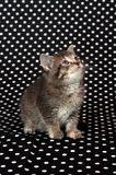 Kitten on black polka dot background Royalty Free Stock Images