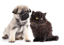 kitten and black pug puppy Stock Image