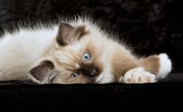 Kitten on black velvet. Blue-eyed Ragdoll kitten lying on black velvet background Stock Photos