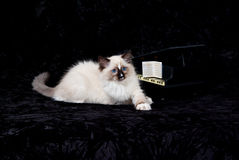 Kitten on black velvet with mini piano. Ragdoll kitten posing with miniature grand piano on black velvet Stock Photography