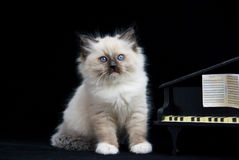 Kitten on black velvet next to piano. Ragdoll kitten on black velvet posing next to mini grand piano stock photo