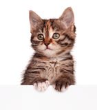 Kitten with blank Royalty Free Stock Image