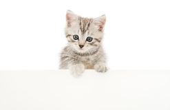 Kitten with blank Royalty Free Stock Images