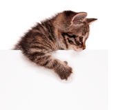 Kitten with blank Stock Images