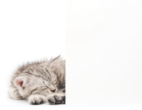 Kitten with blank sign Stock Photography